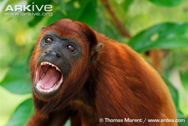 Colombian-red-howler-monkey-mouth-open.jpg