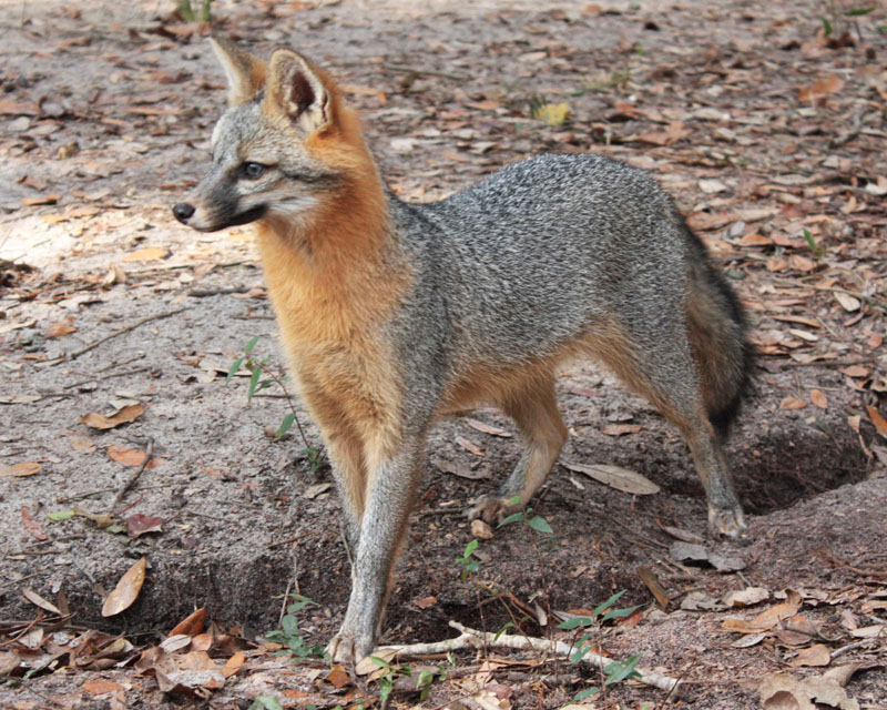Grey-Fox-Website_49.jpg