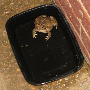 Guard Toad